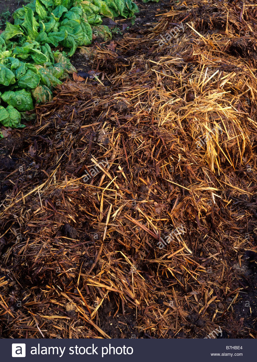 Mulch Of Horse Manure   Stock Image