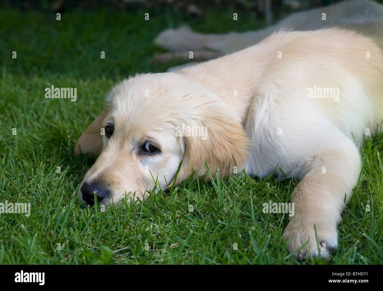 Trickett Golden Retriever Male Puppy 3 Months Old Yorkbeach Sandpit