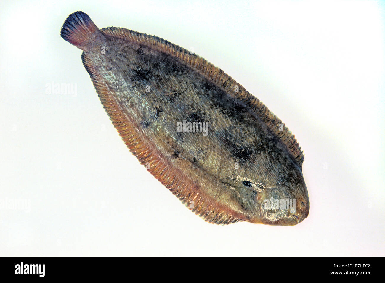 Dover Sole, Common Sole (Solea solea), studio picture - Stock Image
