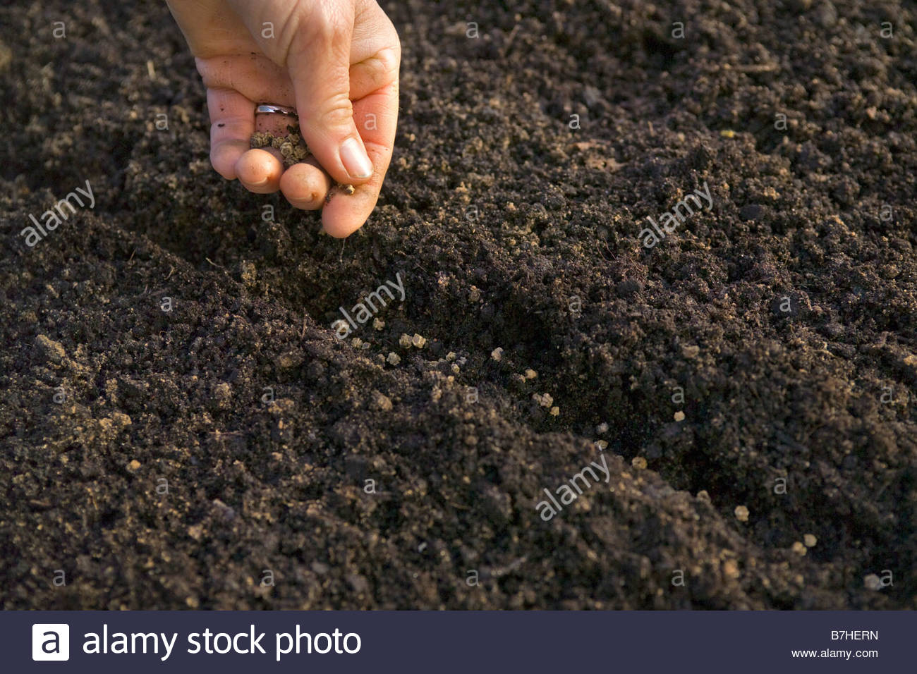 Woman gardener sowing vegetable seed in small trench in spring - Stock Image