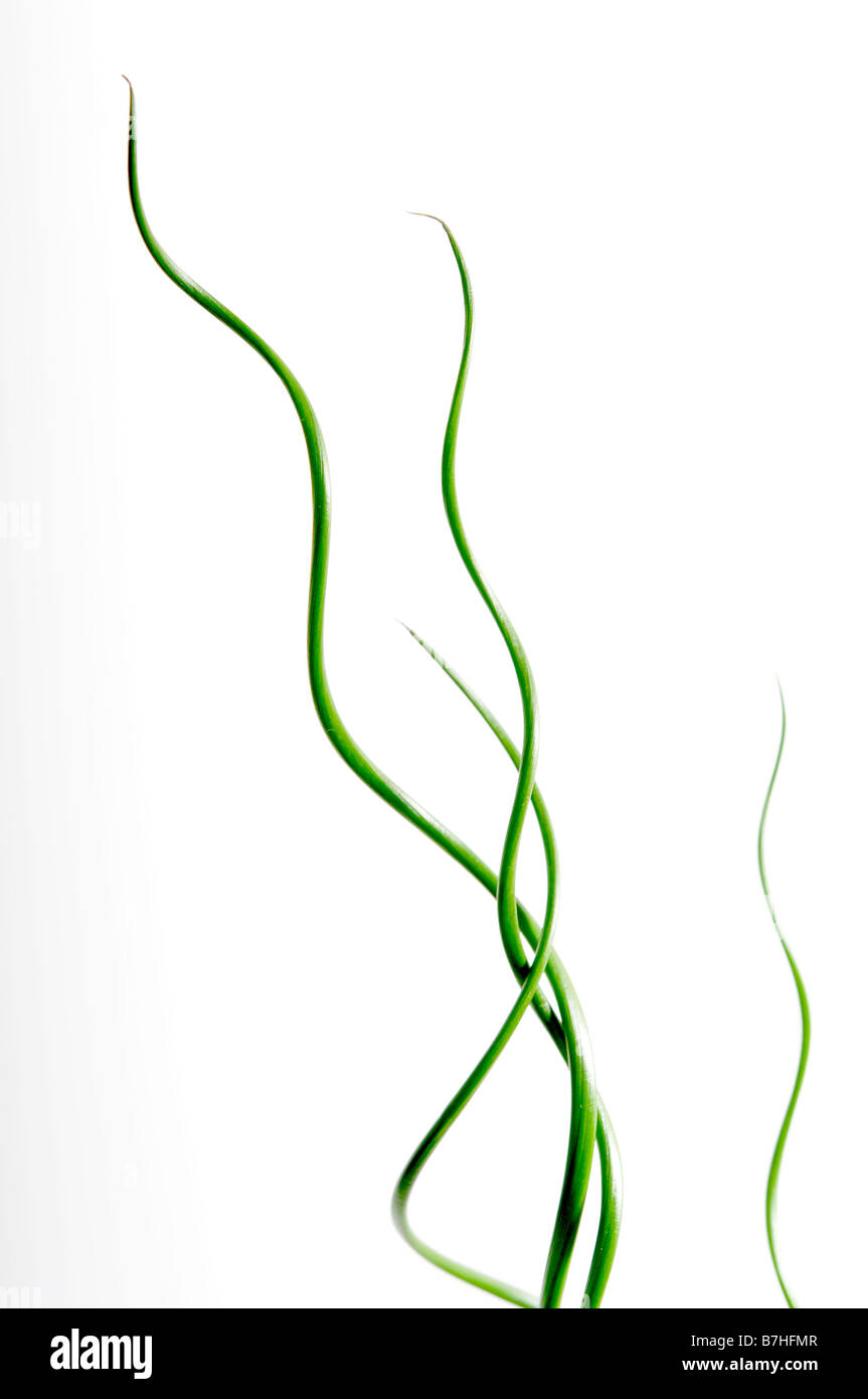spire of juncus spiralis plant twist curly house plant upward garden growing green white close up natural twist - Stock Image