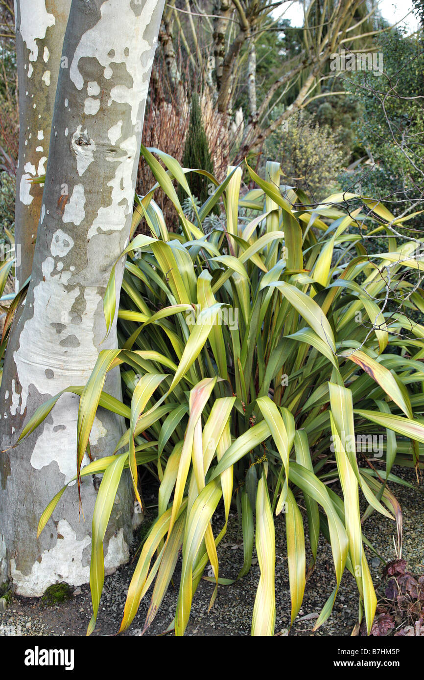 EUCALYPTUS PAUCIFLORA NIPHOPHILA AGM AND PHORMIUM YELLOW WAVE AGM IN THE PLANTSMANS GARDEN AT RHS ROSEMOOR DEVON - Stock Image