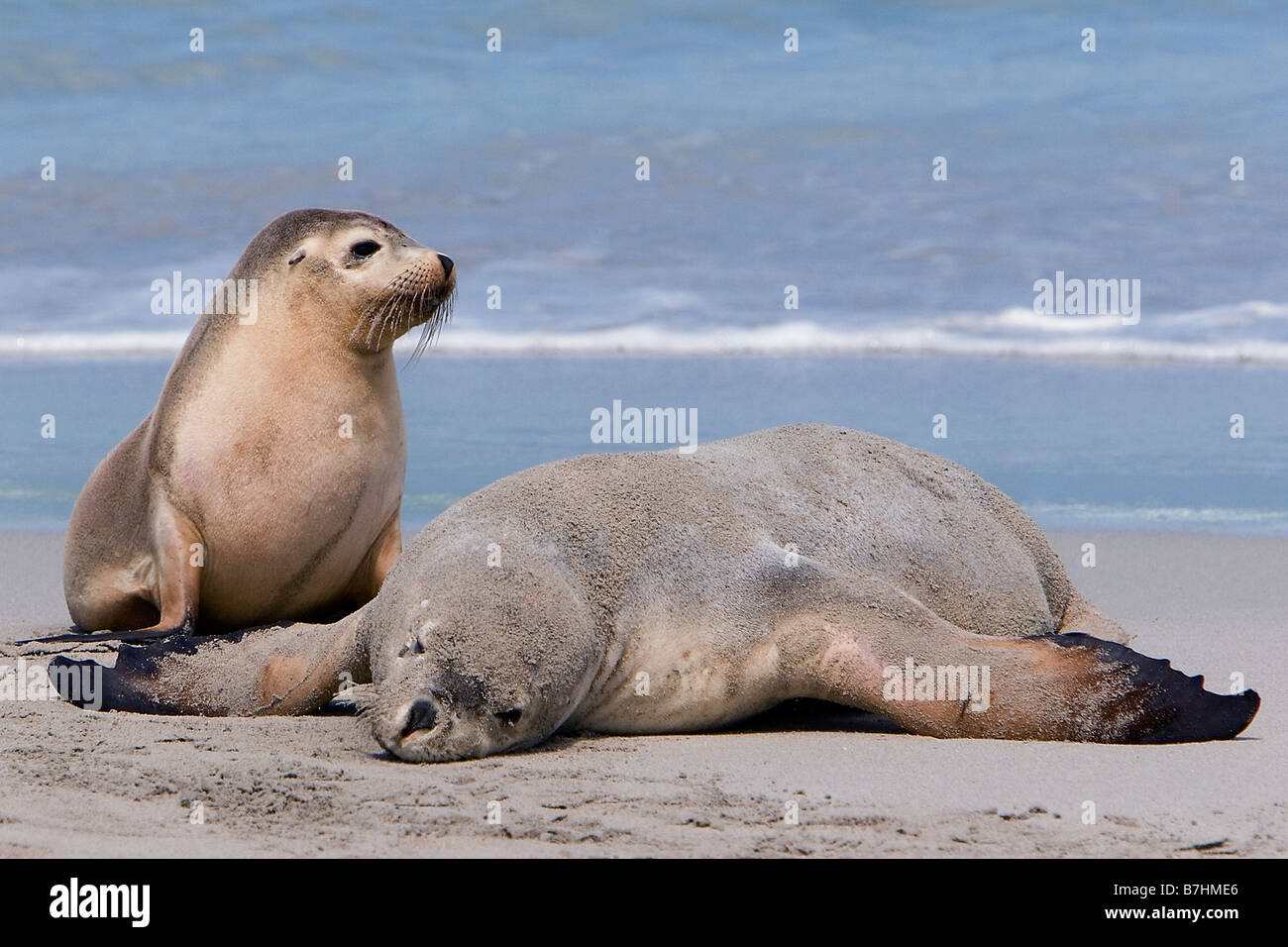 Two Australian sea lions basking by the water's edge, Seal Bay Conservation Park, Kangaroo Island, South Australia Stock Photo
