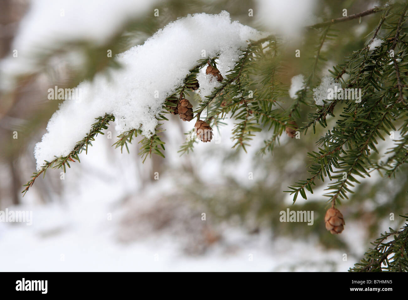 Little Pine Cone On Snow Covered Pine Tree Stock Photo Alamy