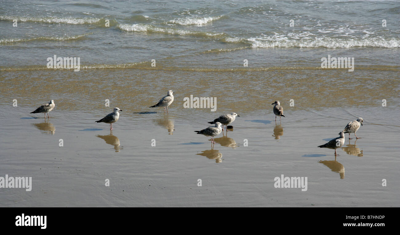 A Group of Immature Herring Gulls Feeding on a Beach - Stock Image