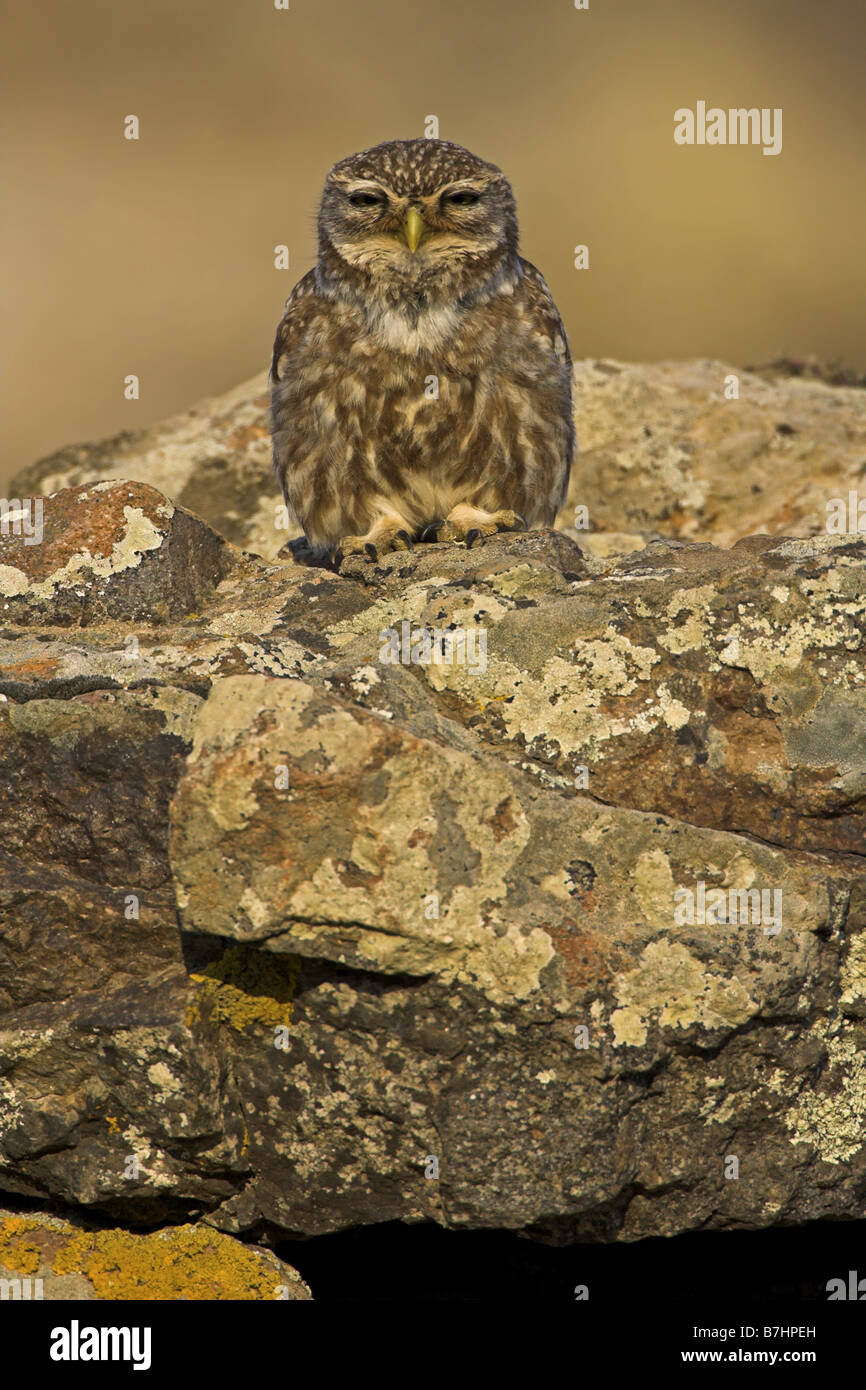 little owl (Athene noctua), sitting on a rock, snoozing, Greece, Lesbos - Stock Image