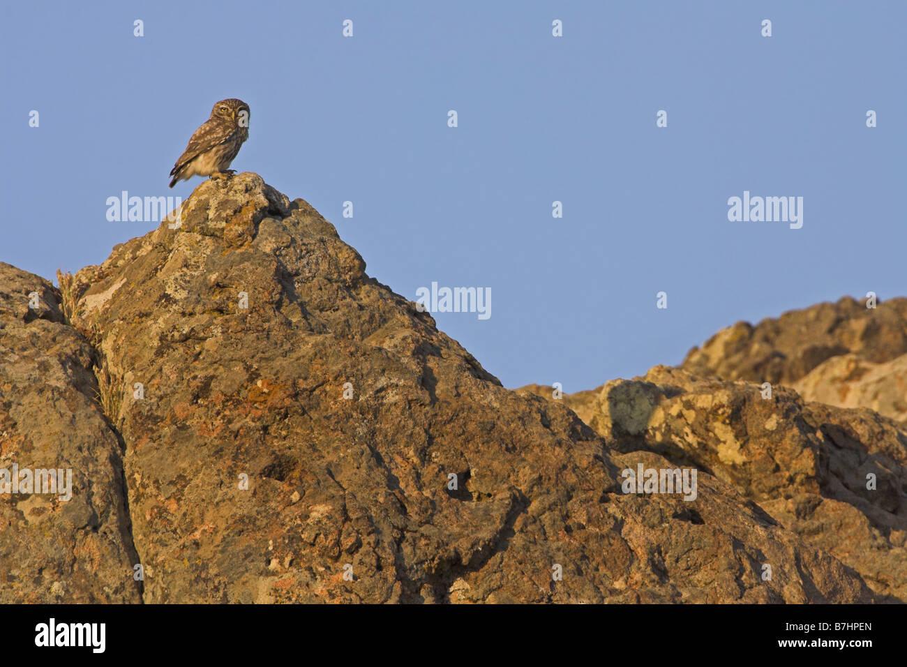 little owl (Athene noctua), sitting on a rock, Greece, Lesbos - Stock Image