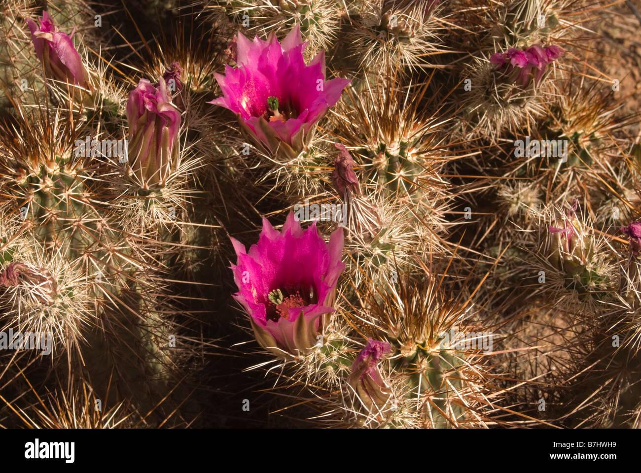 USA Arizona Picacho Cactus in bloom Picacho Peak State Park Stock Photo