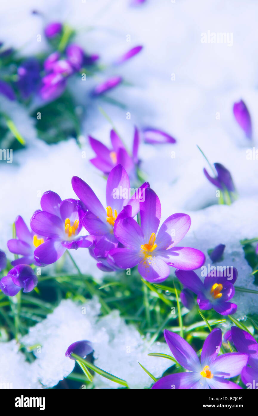 Crocuses Emerging Through Snow, West Vancouver, B.C. - Stock Image