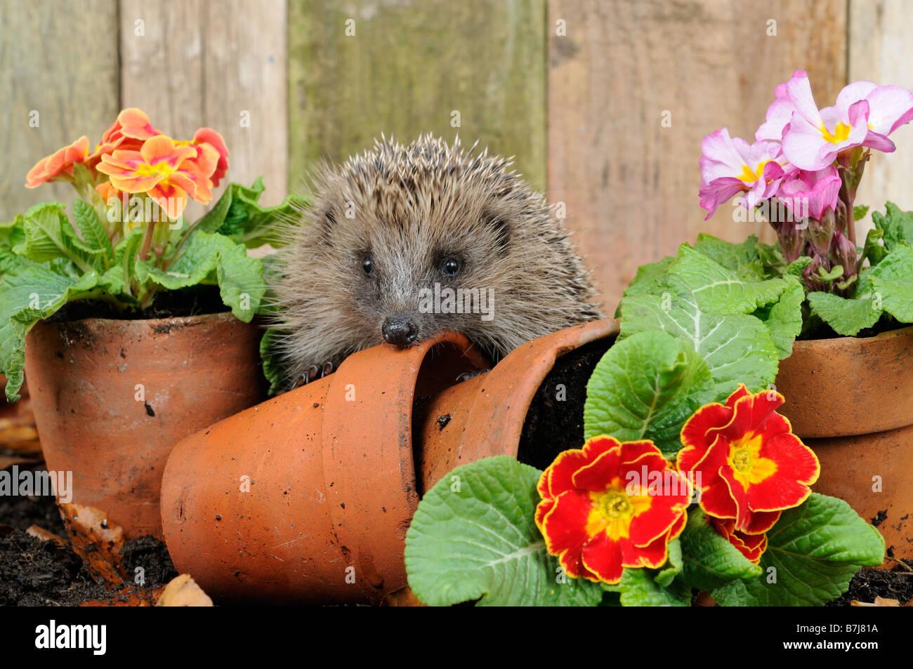 European Hedgehog erinaceus europaeus exploring amongst primroses and terracotta flowerpots - Stock Image
