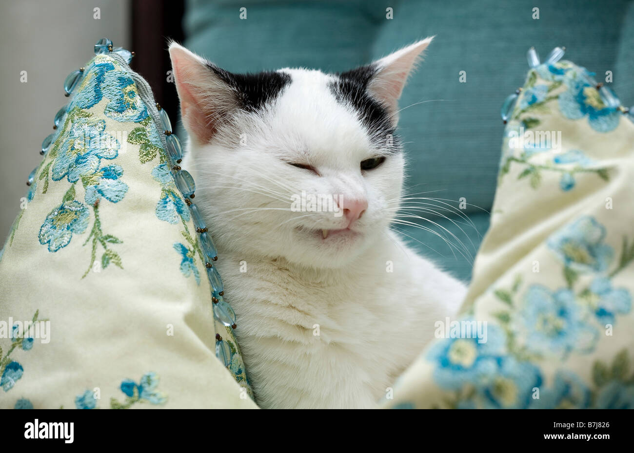 Young cat sitting on cushion with screwed up facial expression - Stock Image