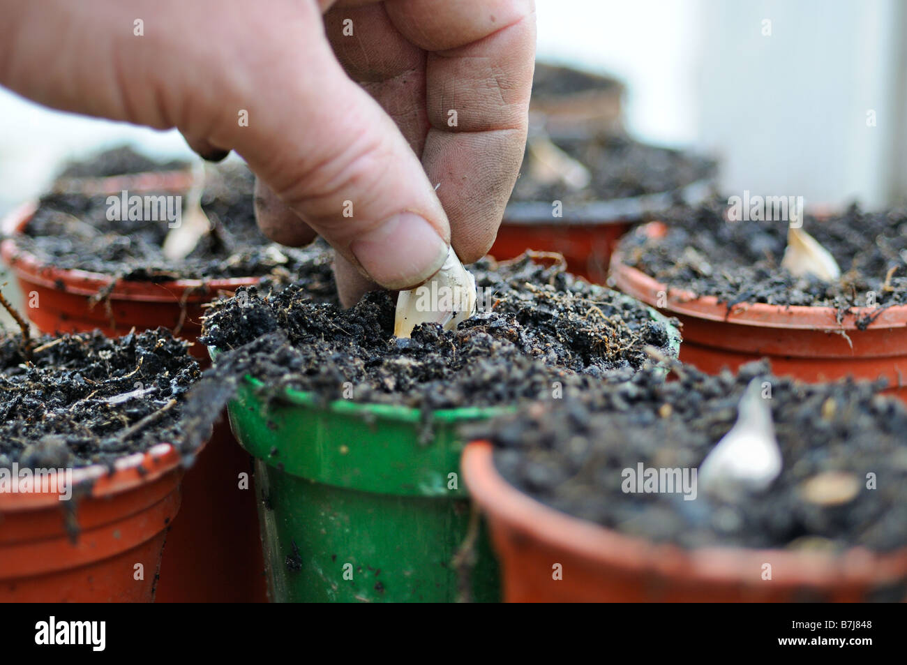 Gardeners hand planting garlic cloves in pots on greenhouse bench January - Stock Image
