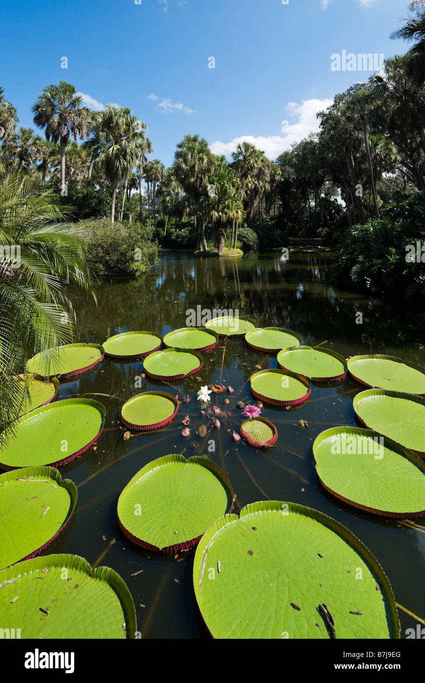 Longwood Hybrid of Victoria Water Lily, Bok Tower Gardens, near Lake Wales, Central Florida, USA Stock Photo