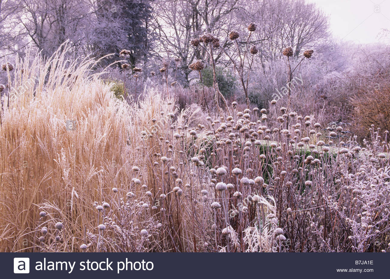 West lodge south sussex winter hoar frost on borders of perennials west lodge south sussex winter hoar frost on borders of perennials and ornamental grasses workwithnaturefo