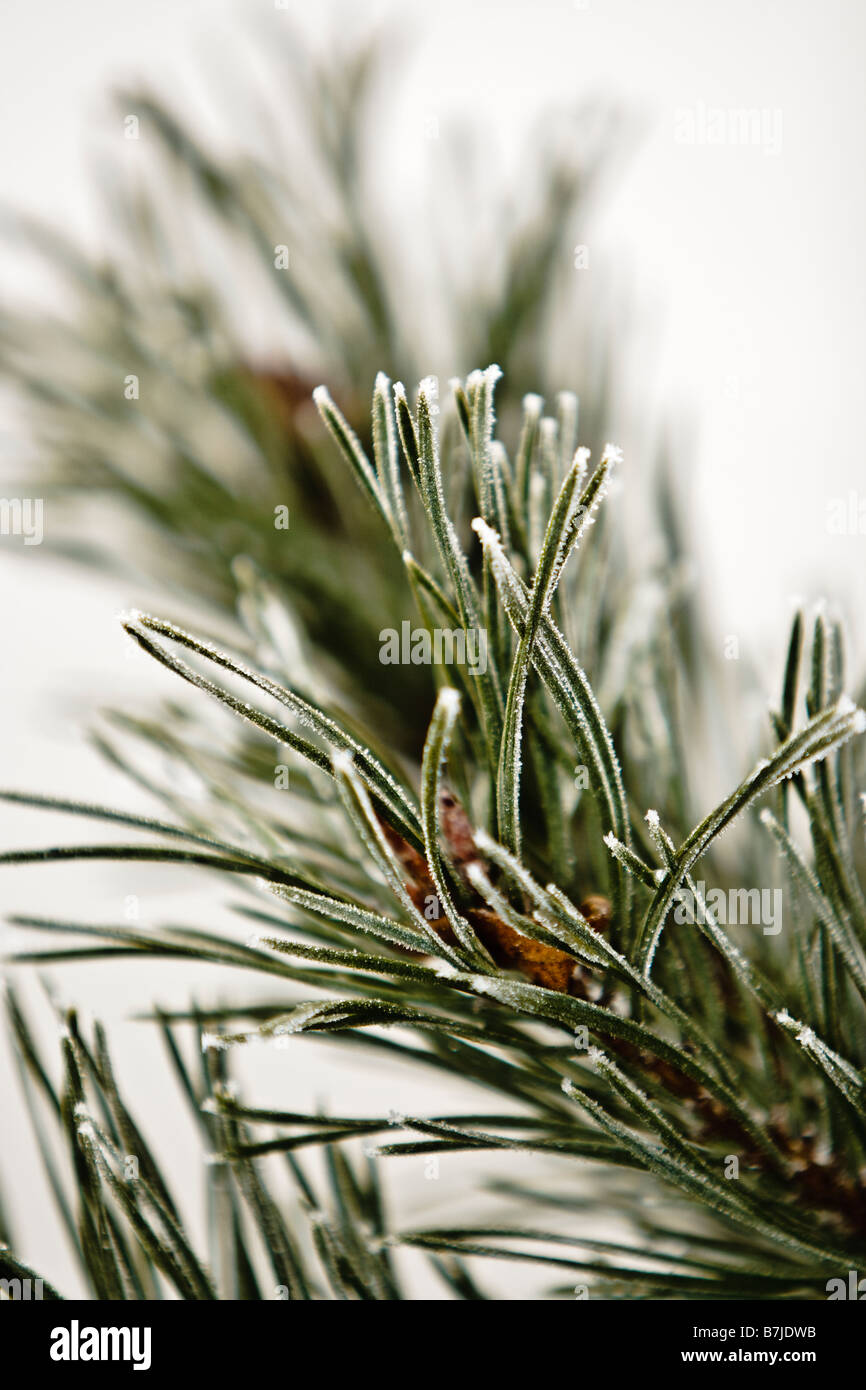 frosted pine twig - Stock Image