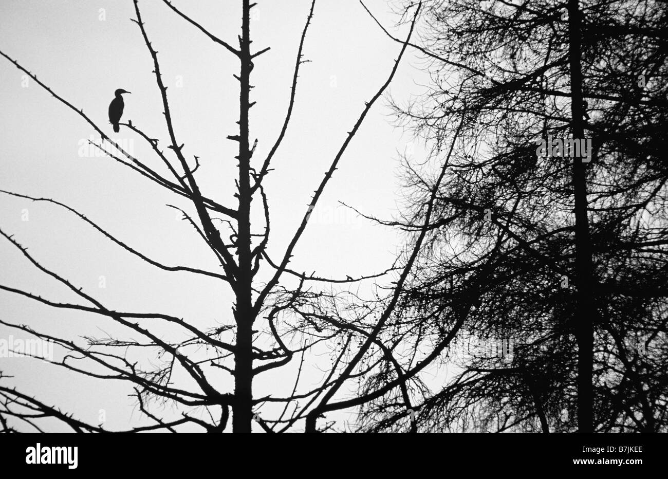 A cormorant perches high in a tree - Stock Image