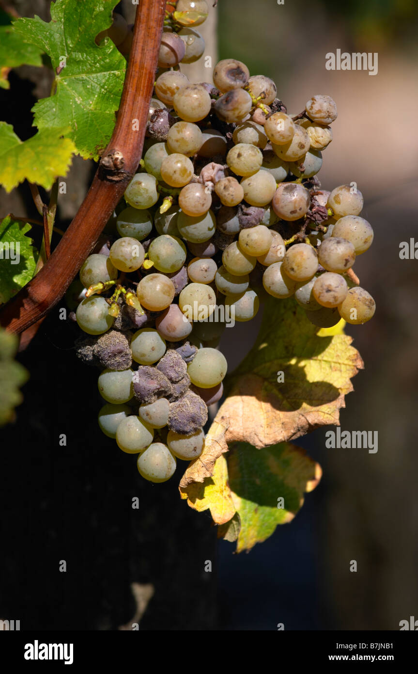 semillon grapes with noble rot chateau guiraud sauternes bordeaux france - Stock Image