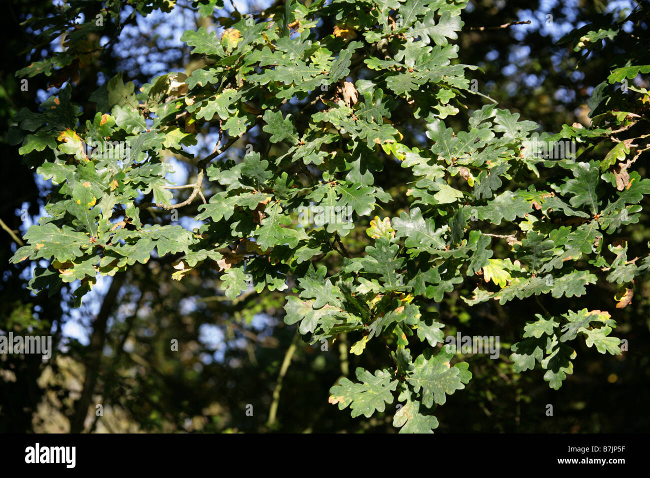 Pedunculate or English Oak Leaves, Quercus robur, Fagaceae Stock Photo