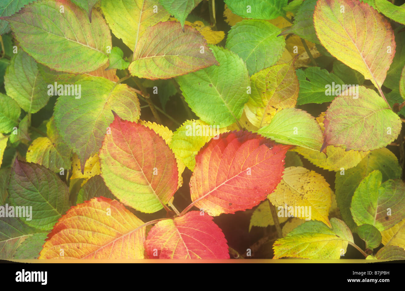 Red Yellow And Green Leaves Of Autumnal Mophead Hydrangea
