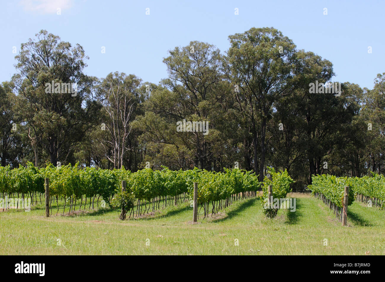Hunter valley vineyards New south wales Australia - Stock Image