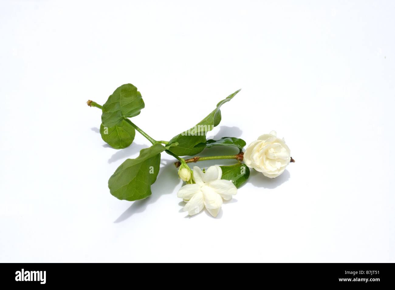 Arabian jasmine flowers on white background stock photo 21927053 arabian jasmine flowers on white background izmirmasajfo