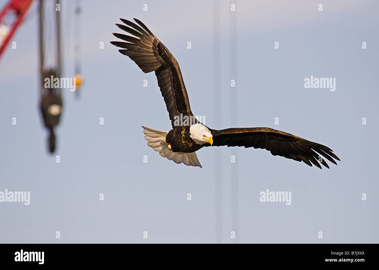 Bald Eagle Flying In Front Of A Hook Hanging On A Crane Stock Photo