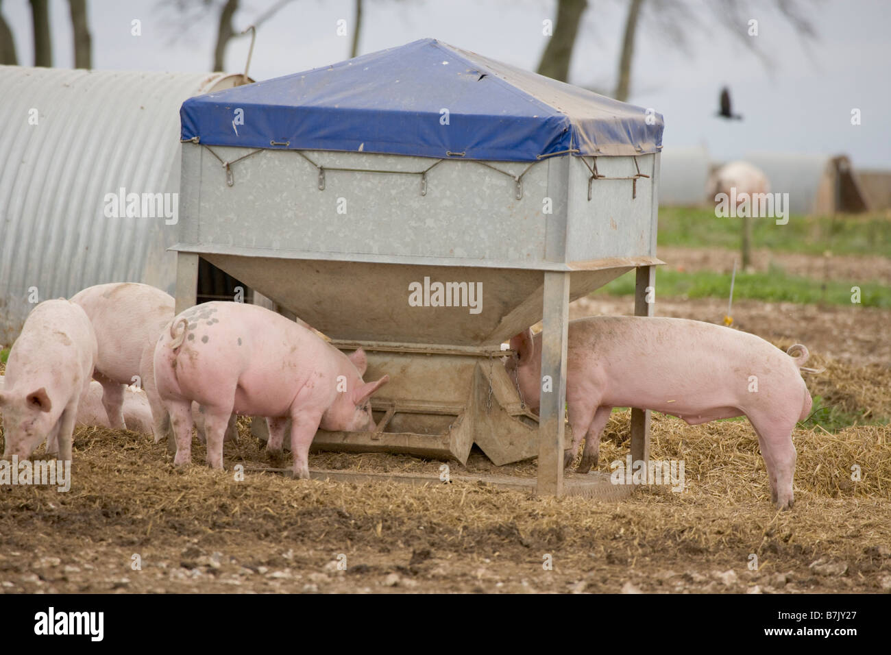 Pig farm with ark shelters - Stock Image