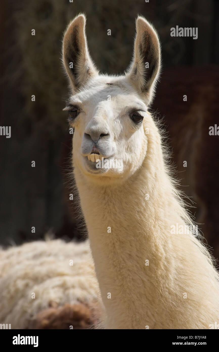 Llama 2 - Stock Image