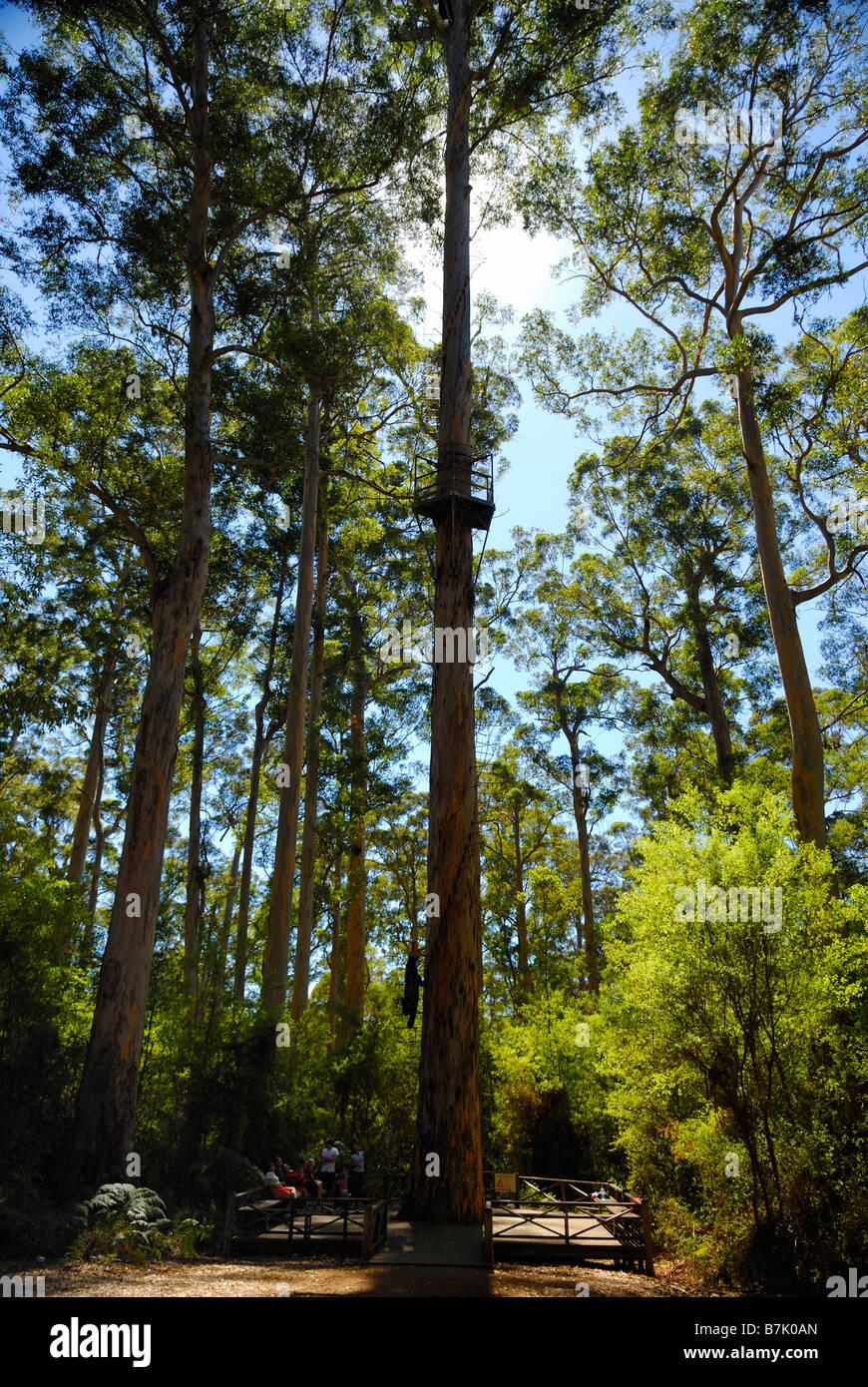 Bicentennial Tree lookout in Warren National Park near Pemberton Western Australia - Stock Image