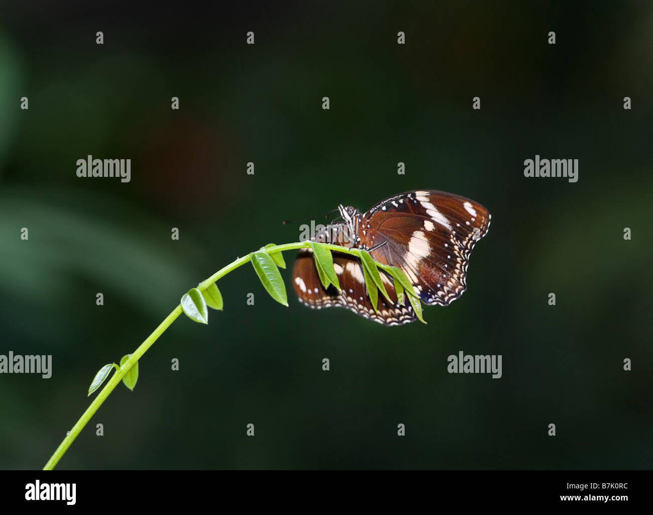 great image of a beautiful butterfly on the end of a branch - Stock Image