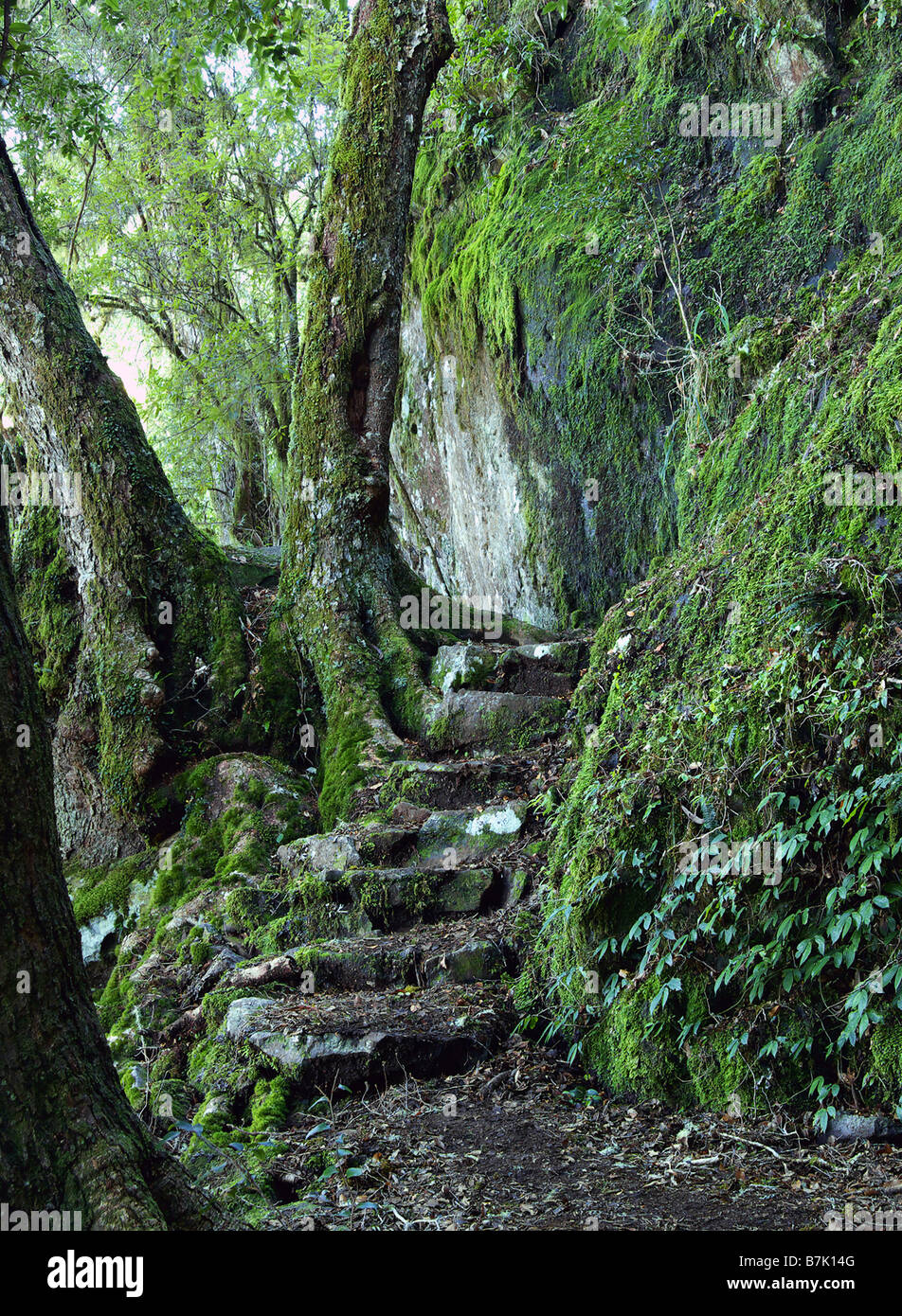 steps and a path through the oxley world heritage rainforest - Stock Image