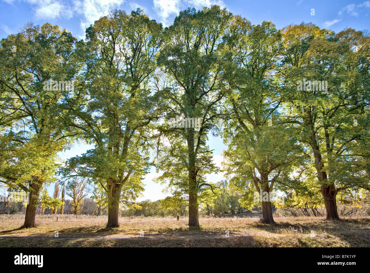 five tall trees in a row at sunrise - Stock Image