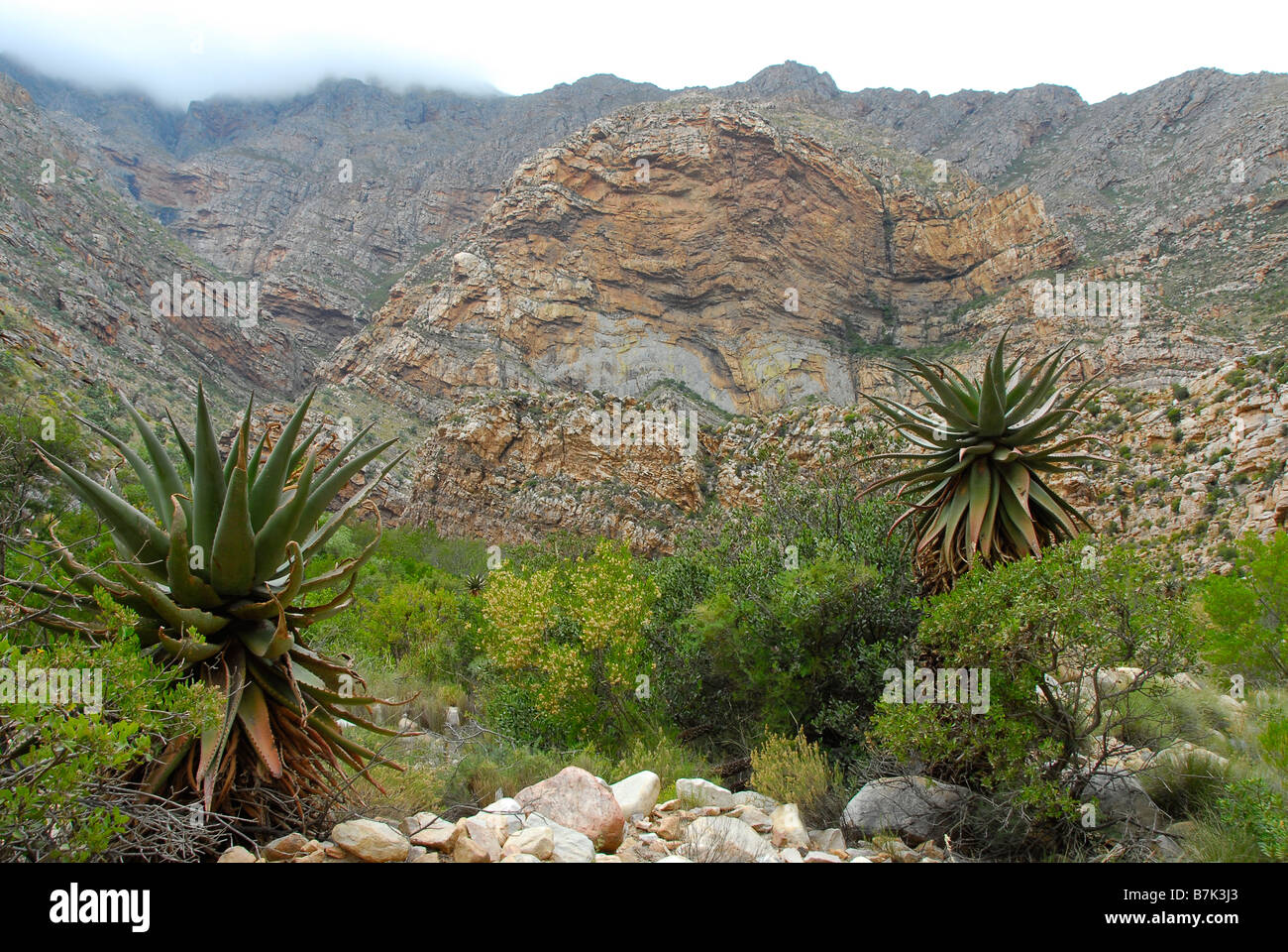 Aloes in foreground, Cape Fold mountains in background, Seweweeks poort, near Oudtshoorn in the Klein Karoo, South - Stock Image