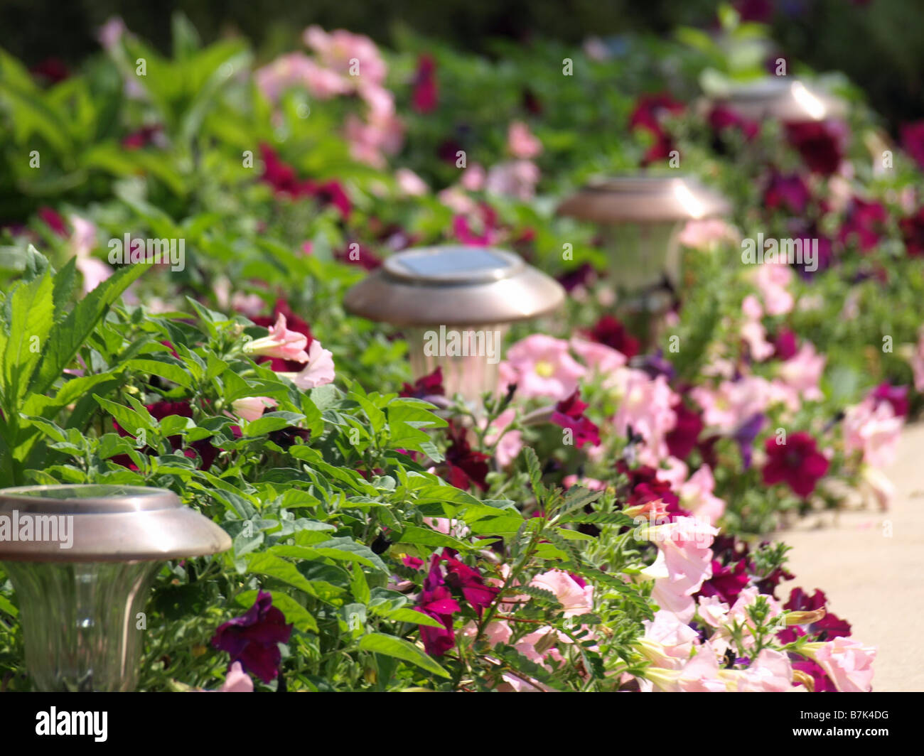 Beautiful pink and rose colored petunias along a garden walk. There are garden lights along edge of walk. - Stock Image