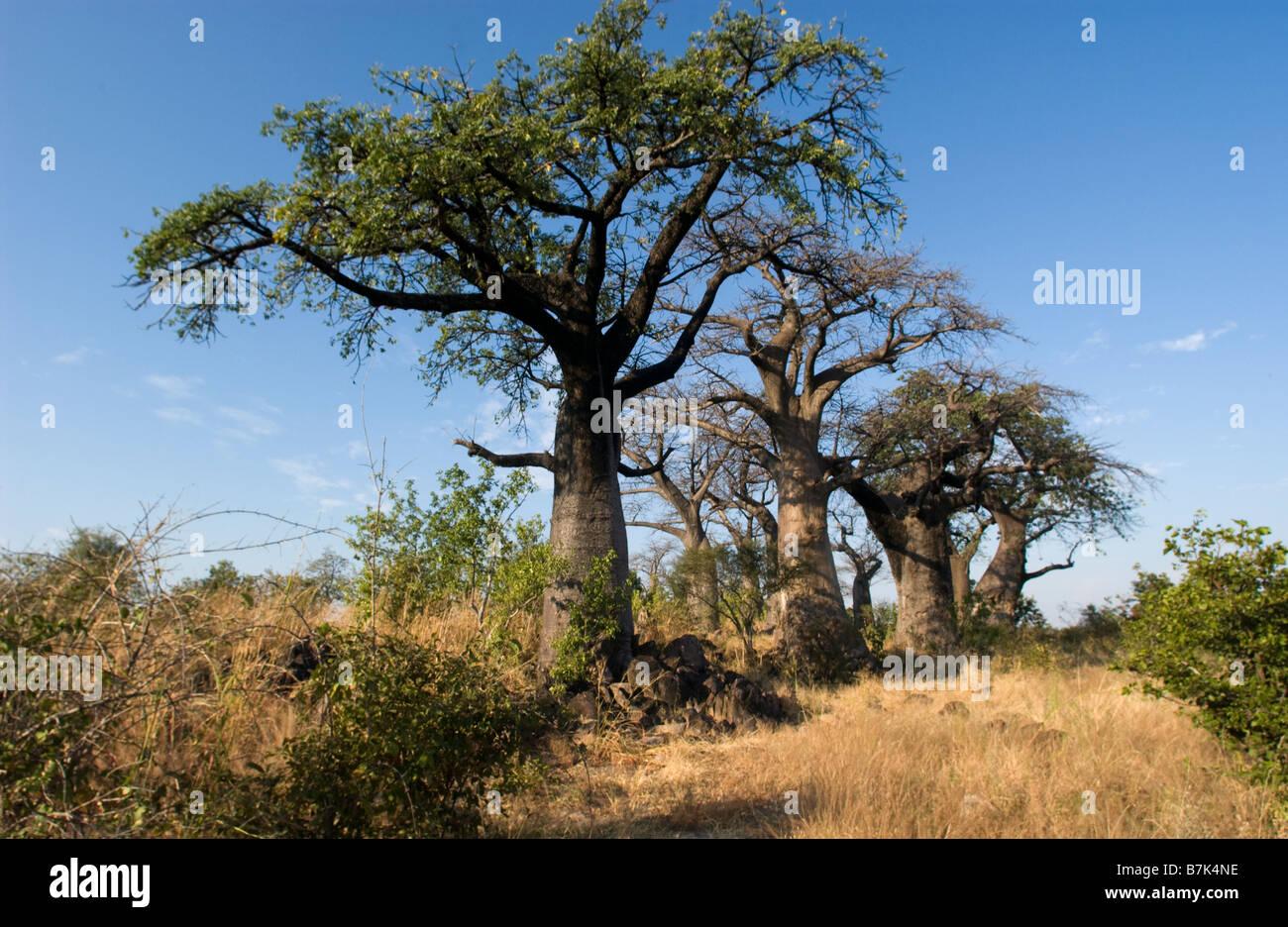 Baobab island Savuti Stock Photo