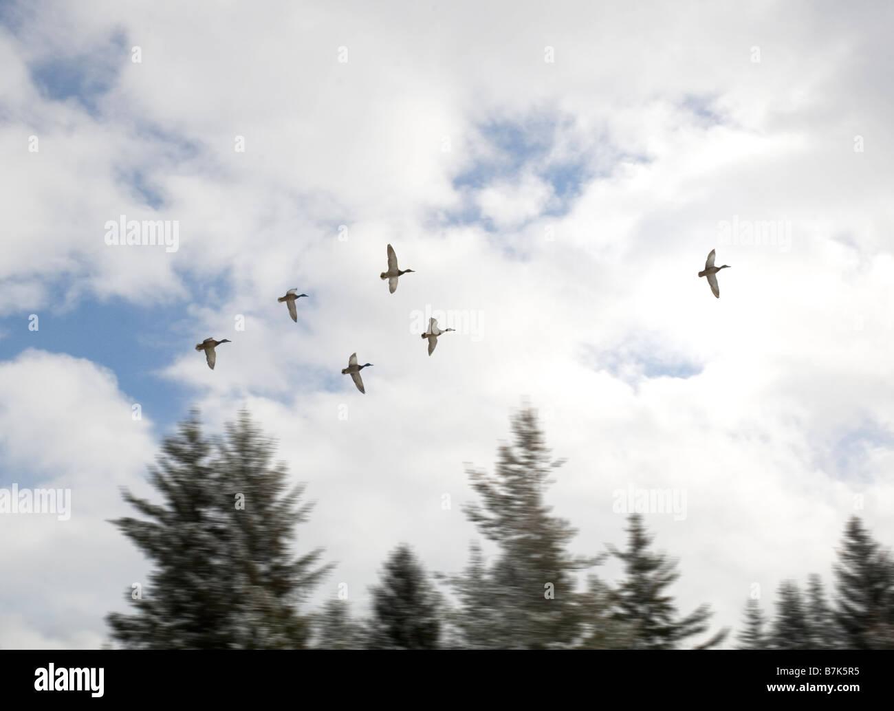 Ducks in flight, Whistler, BC Canada - Stock Image
