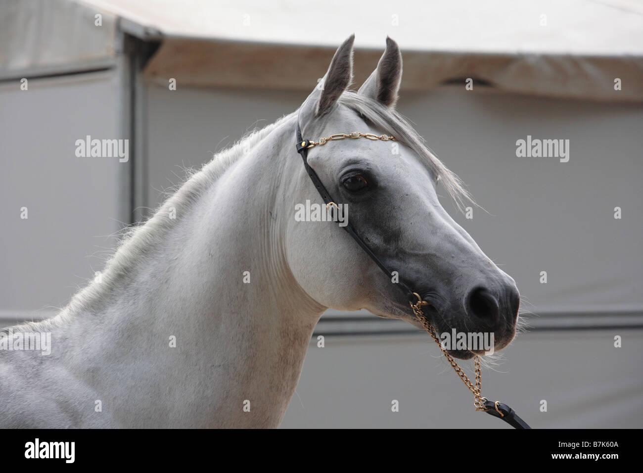 White Arabian Horse Portrait Stock Photo Alamy
