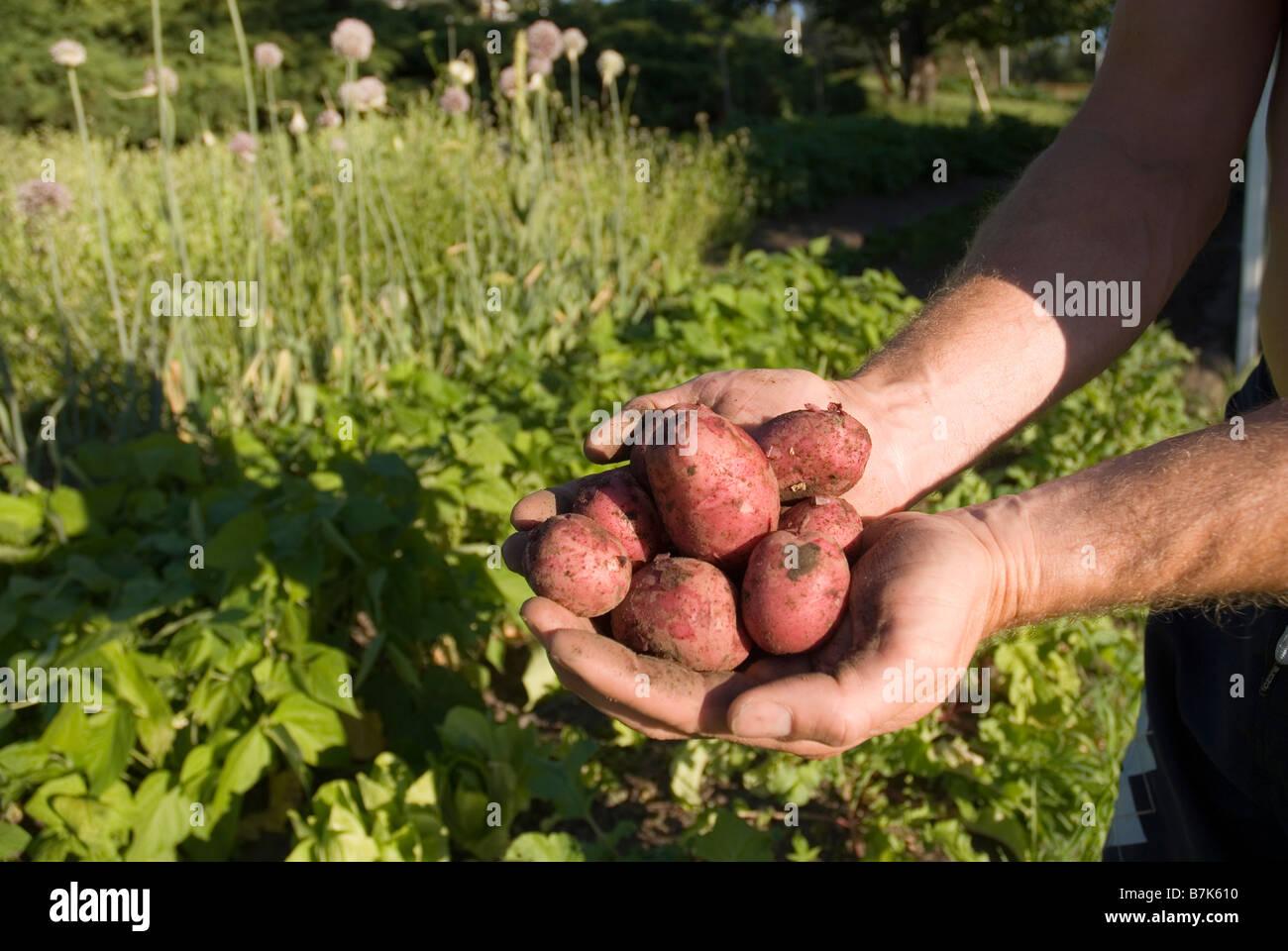 Hands holding fresh locally grown potatoes, Okanagan Centre, BC Canada - Stock Image