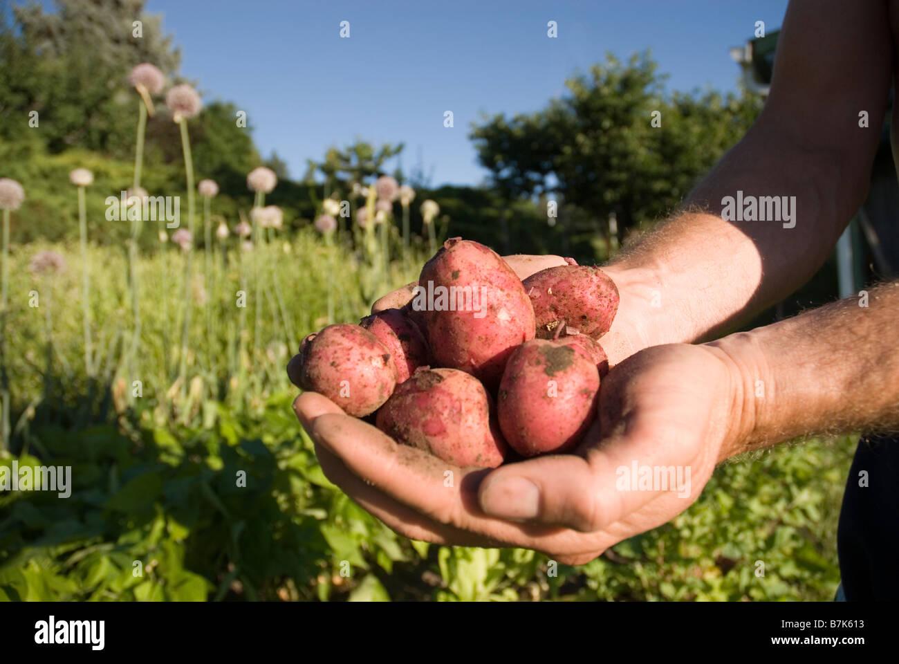 Hands holding fresh locally grown potatoes, Okanogan Centre, BC Canada - Stock Image