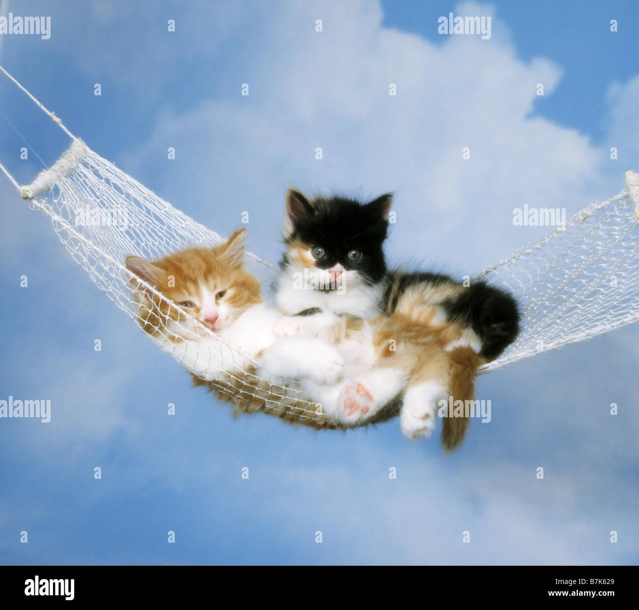 Two Angora Cat Kitten Lying In Hammock Stock Photo 21934817 Alamy
