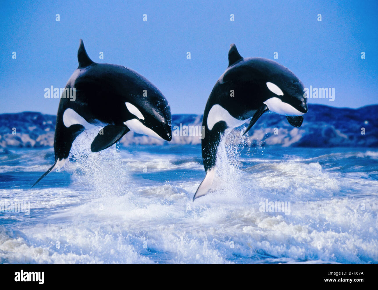 Two Killer Whales (Orcinus orca), breaching Stock Photo ... Orca Pod Breaching