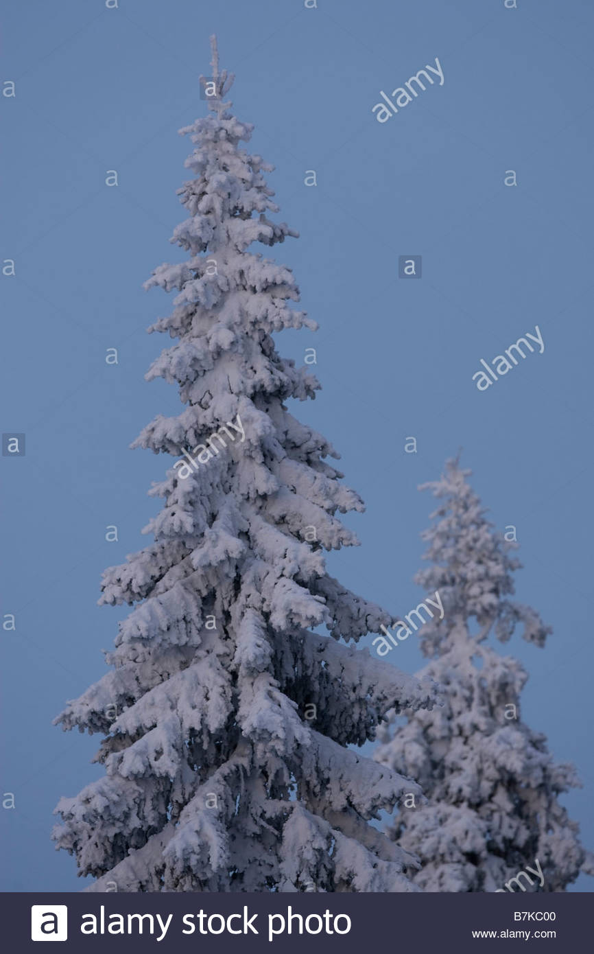 Snow spruces in early winter morning. Kuusamo, Finland - Stock Image