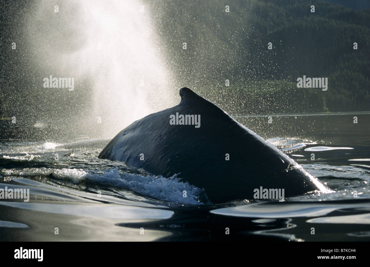 Humpback Whale surfacing and blowing, Tenakee Inlet, Southeast Alaska Stock Photo