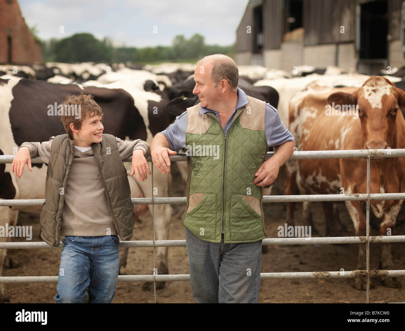 Farmer And Son With Cows Stock Photo
