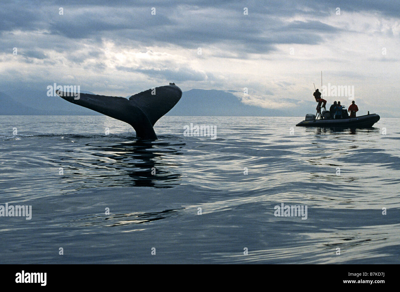 Humpback Whale sounding, watched by researchers, Alaska - Stock Image