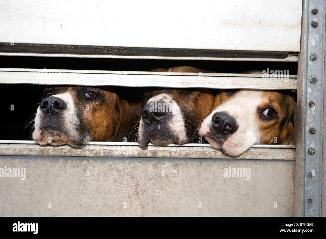 Fox hounds in trailer before being released to hunt Cumbria - Stock Image