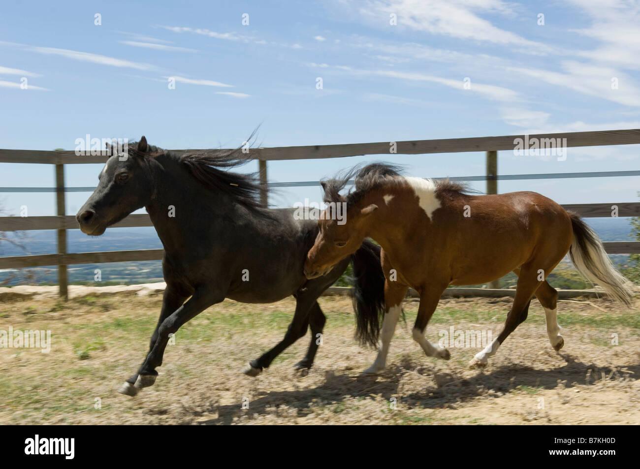 Two miniature horses running - Stock Image