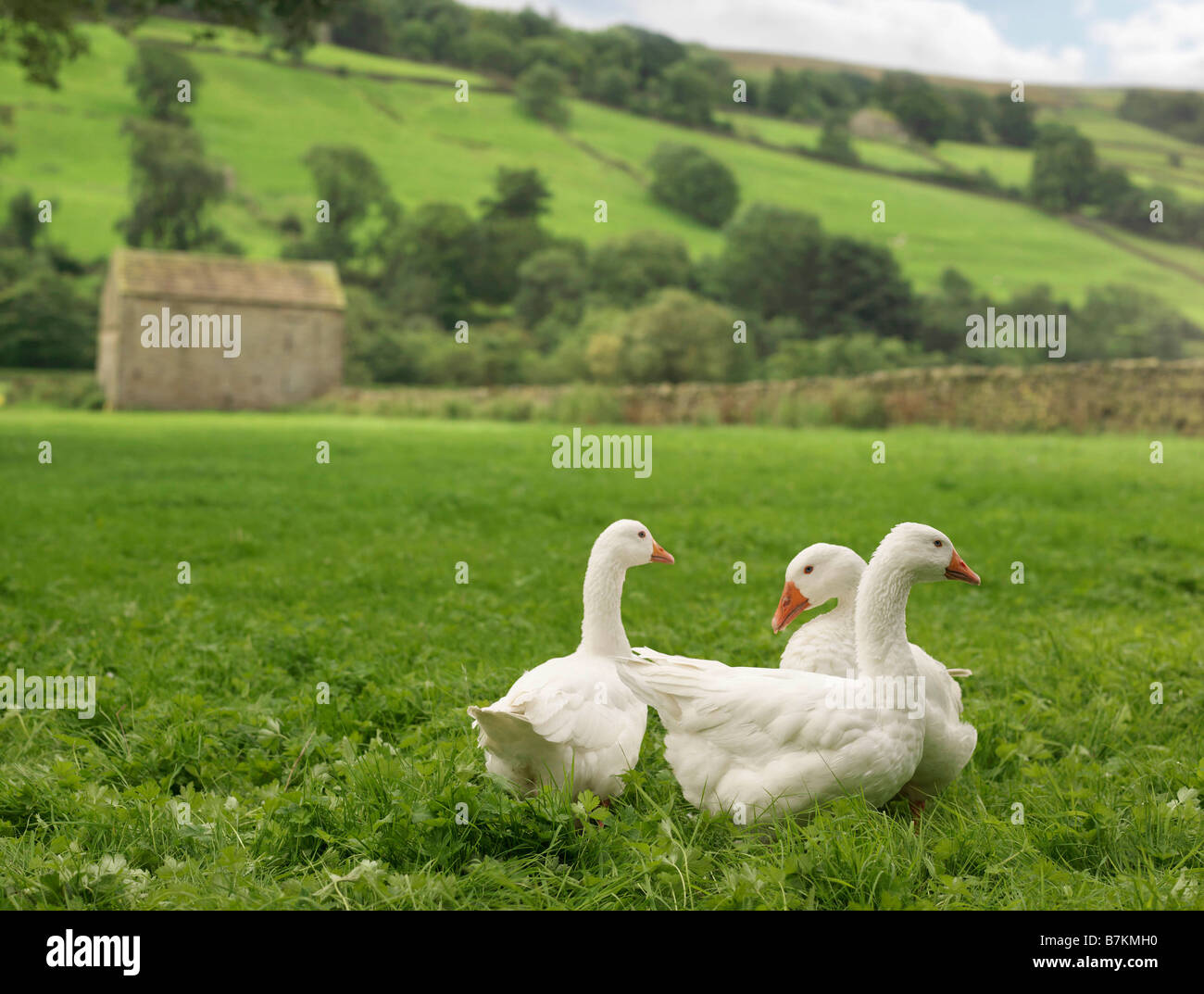 Three Geese In Field - Stock Image