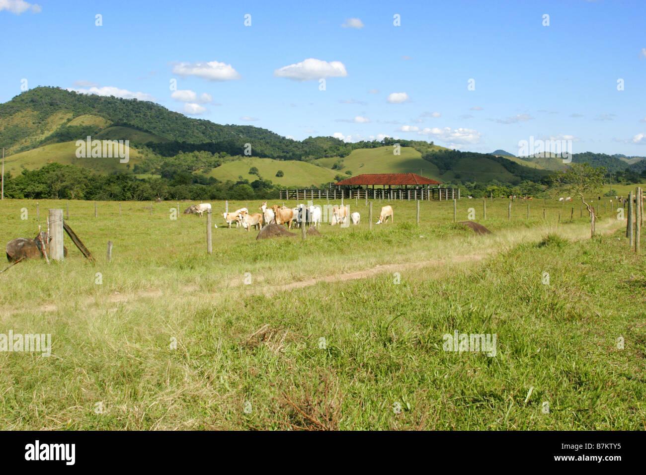 Brahmin Cattle herd standing on pastureland with hills of Atlantic Rainforest in distance Rio de Janeiro state Brazil - Stock Image