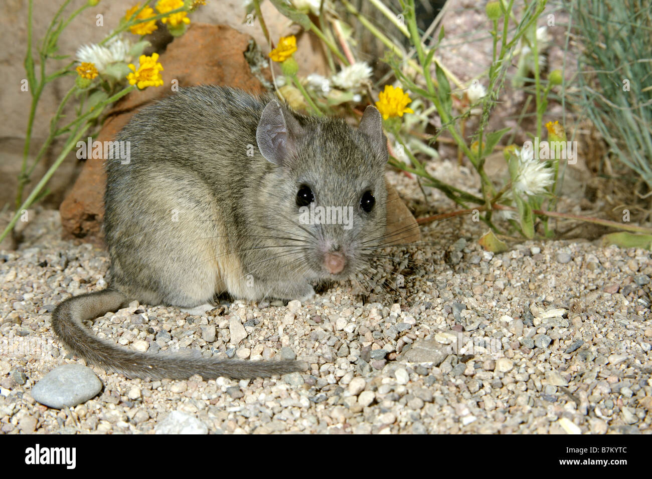 Western White-throated Woodrat - Stock Image